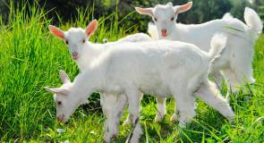 Keçilerden Gelen Sağlık